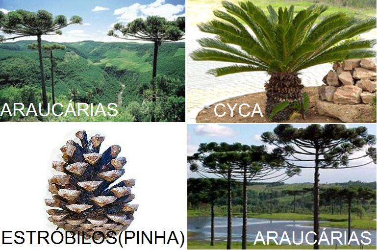 Nesse grupo incluemse plantas como pinheiros , as sequóias e os
